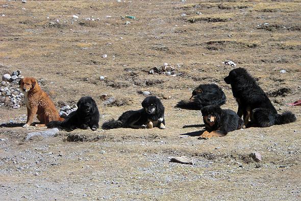 Тибетские мастифы
