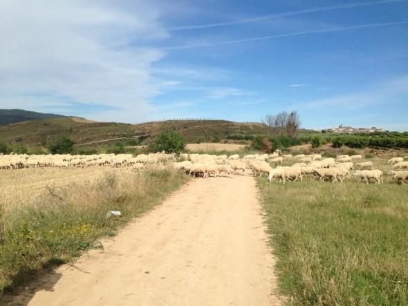 Овцы преградили путь
