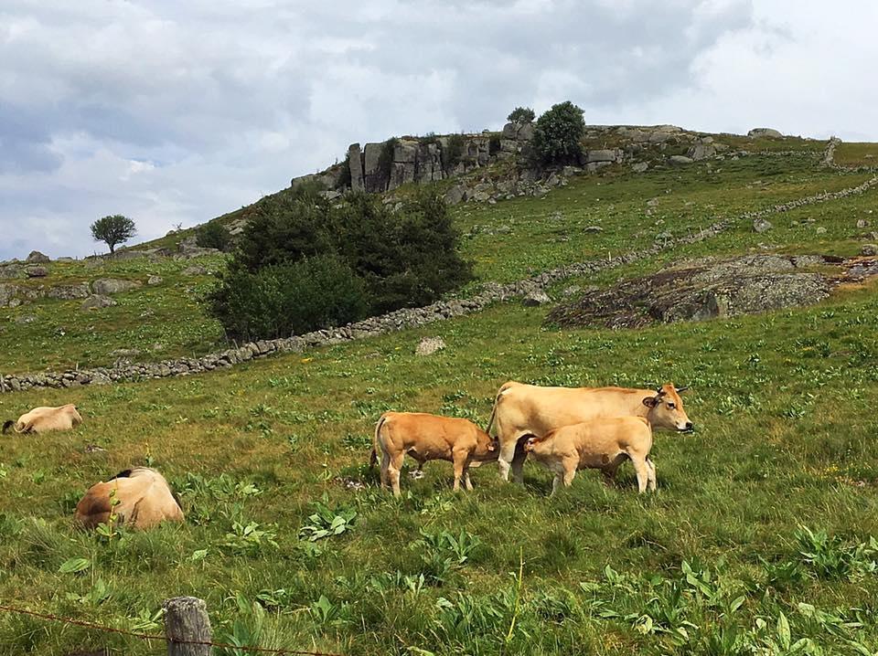 Пасущиеся коровы на пути Св.Иакова