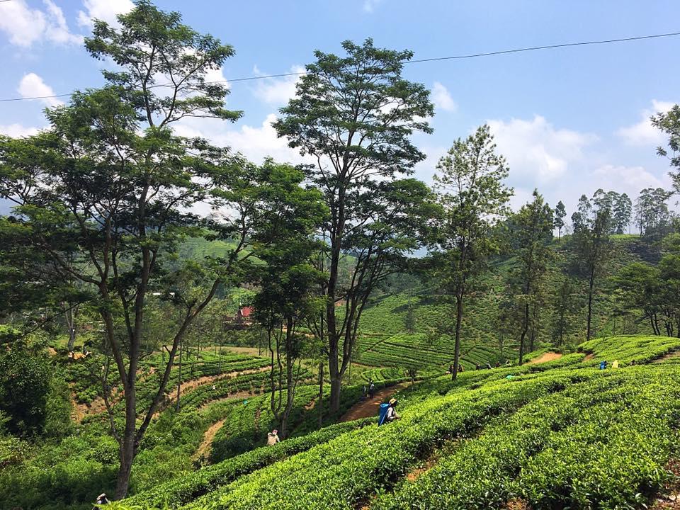 Чайные плантации на Цейлоне
