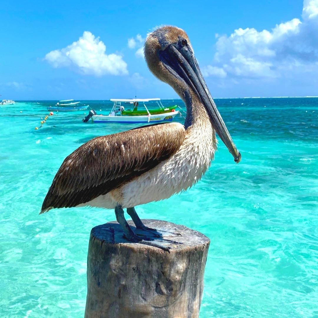 Бурый карибский пеликан