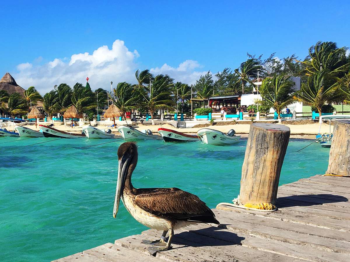 Карибский пеликан в Пуэрто Морелос, Мексика