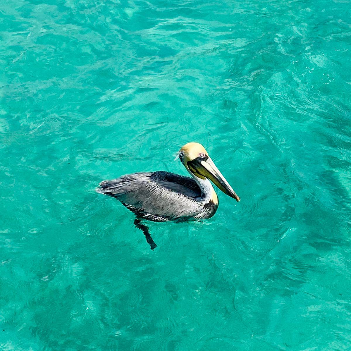 Карибский пеликан в брачный сезон