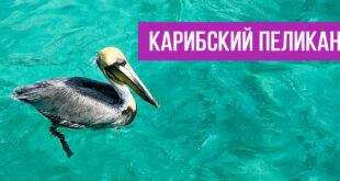 Карибский пеликан